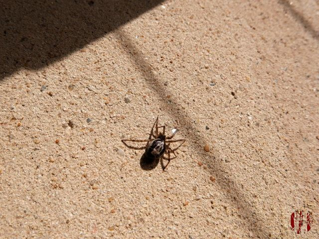 A spider is seen walking on a sunlit wall