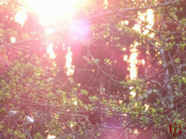 To a certain extent washed out photograph of green buds on branches with trees behind taken directly into very bright sunlight resulting in a strange glow in the background and some lens flare
