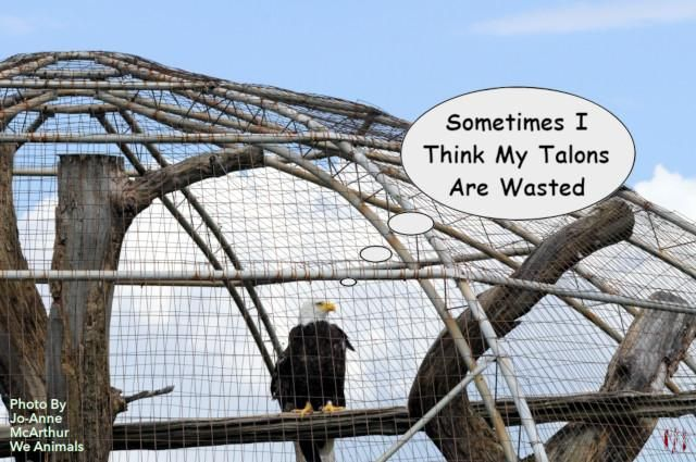 Photograph of a Bald Eagle under the wire of a Canadian zoo with the caption 'I sometimes think my talons are wasted'.