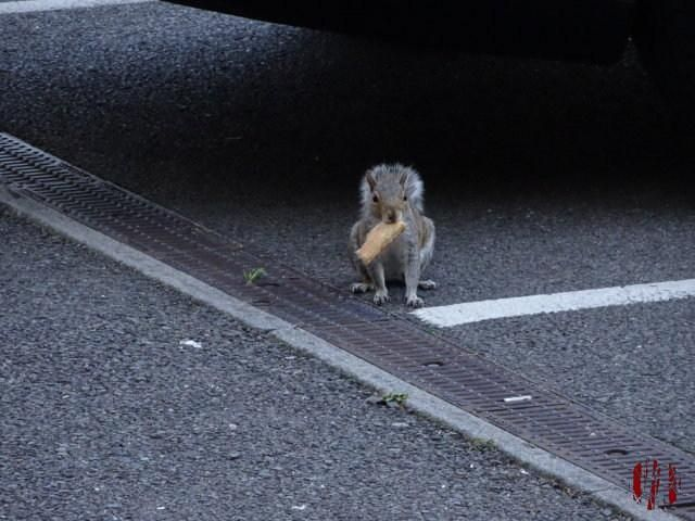 A grey squirrel holding food in its mouth sat looking directly at the camera underneath the edge of a car in the car park near the back of the Drill Hall in Horsham.